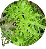 グリーンからし水菜